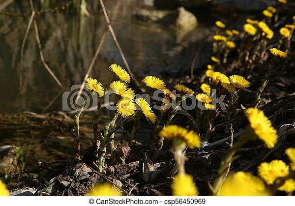 First spring flowers coltsfoots tussilago farfara yellown flowers first spring flowers coltsfoots csp56450969 mightylinksfo