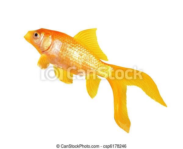 Goldfisch - csp6178246