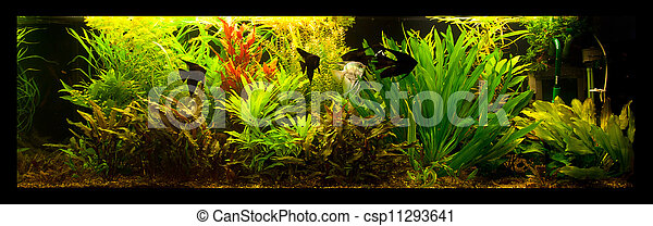 fische s wasser aquarium scalare pterophyllum sch ne pterophyllum fische tropische. Black Bedroom Furniture Sets. Home Design Ideas