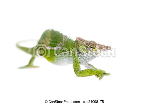 Fischers chameleon kinyongia fischeri on white fischers fischers chameleon kinyongia fischeri on white csp34098175 thecheapjerseys Choice Image