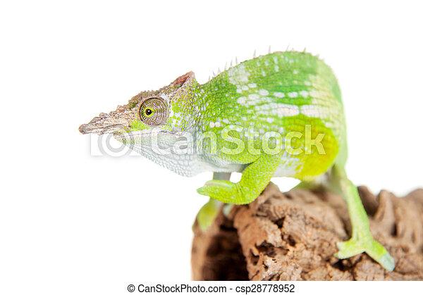 Fischers chameleon kinyongia fischeri on white fischers stock fischers chameleon kinyongia fischeri on white csp28778952 thecheapjerseys Choice Image