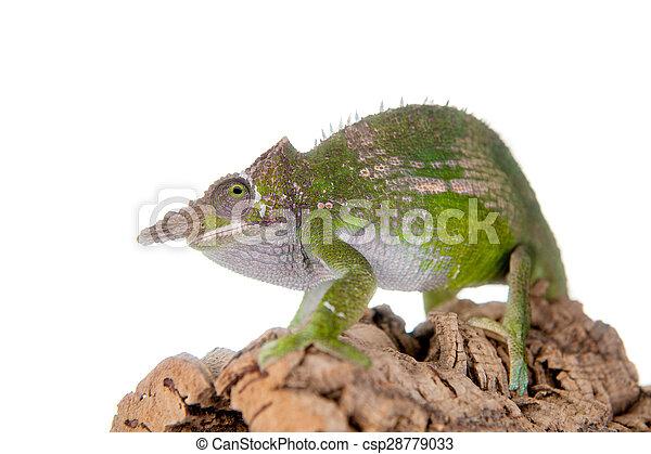 Fischers chameleon kinyongia fischeri on white fischers stock fischers chameleon kinyongia fischeri on white csp28779033 thecheapjerseys Choice Image