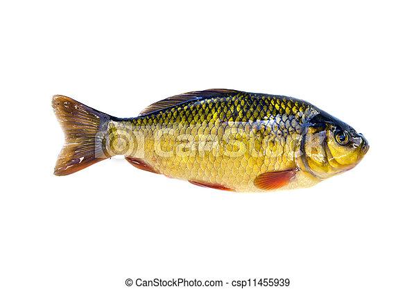 fish crucian carp (Carassius carassius) isolated on white - csp11455939