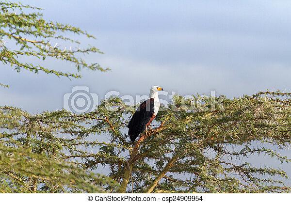 Fish Eagle in Naivasha Lake - csp24909954