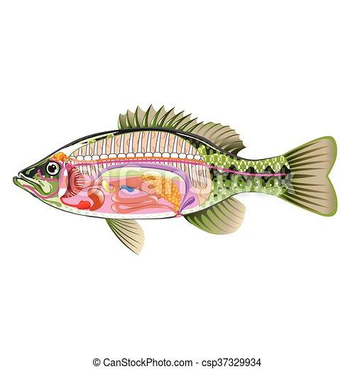 fish internal organs vector art diagram anatomy without labels Fish Food Diagram fish internal organs vector art csp37329934