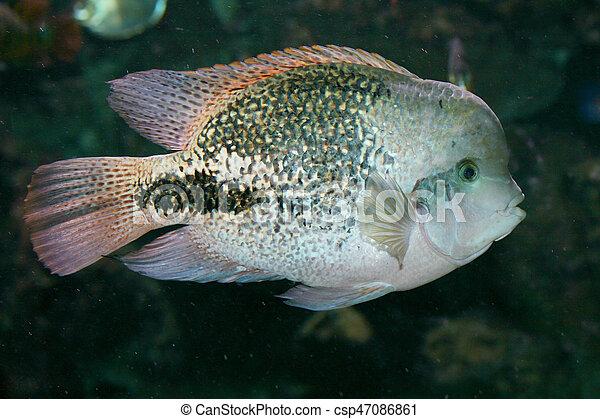 Fish Paratheraps Synspilum A Male Fish Paratheraps Synspilum In