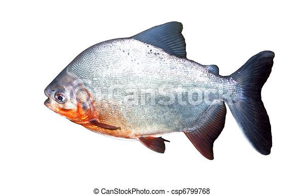 fish, piranha - csp6799768