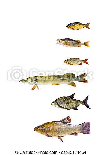fish, sötvatten, olika, kollektion - csp25171464