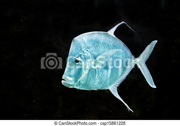 fish Silver Moonfish,Lookdowns-Selene vomer - csp15861228