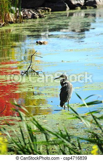 Fishing Heron - csp4716839