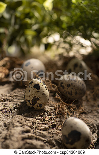 Five quail eggs in the forest on a wooden surface - csp84304089