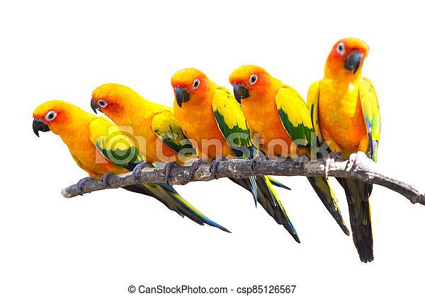 Five sun conure parrots perched on a white background. - csp85126567