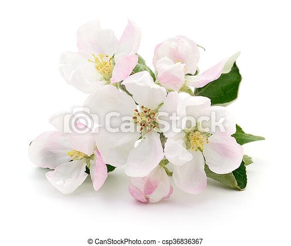 fjäder, blossom., äpple - csp36836367