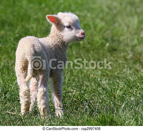 fjäder, lamb. - csp2997408