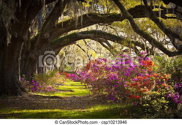 fjäder, spansk, ek, träd, plantering, levande, azalea, mossa, blomning, sc, charleston, blomningen, blomstrar - csp10213946