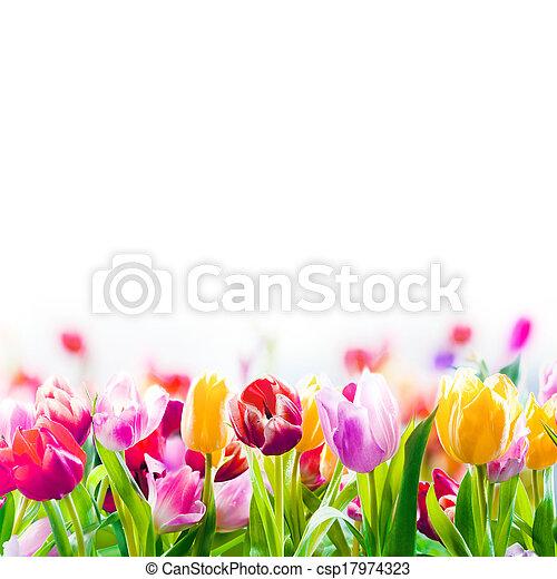 fjäder, vit, färgglatt, bakgrund, tulpaner - csp17974323