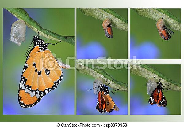 fjäril, puppa, bilda, ögonblick, förbluffande, ändring - csp8370353