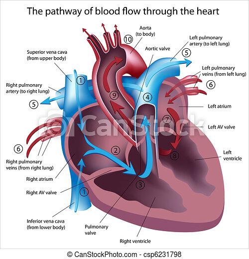 flöde, genom, blod, hjärta - csp6231798