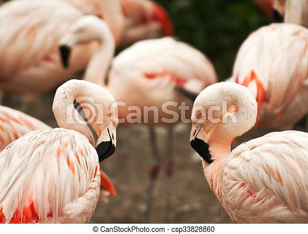 flamingó, madarak - csp33828860