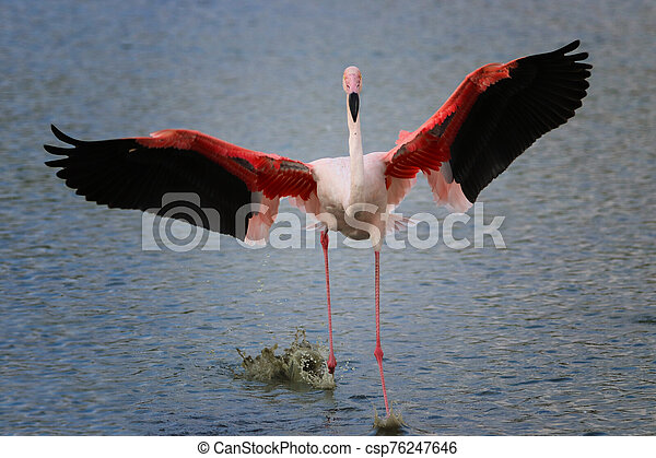 Flamingo lands on the water - csp76247646