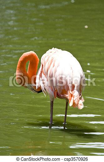 flamingo preening - csp3570926