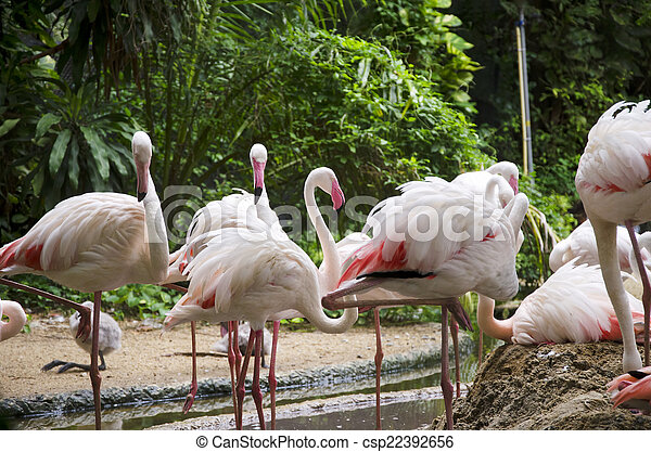 flamingo, vogels - csp22392656