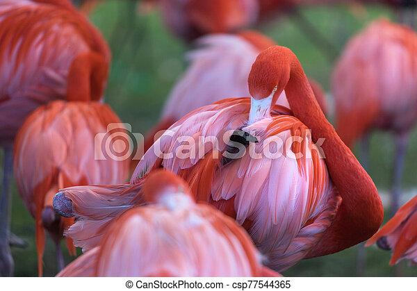 flamingos on a meadow - csp77544365