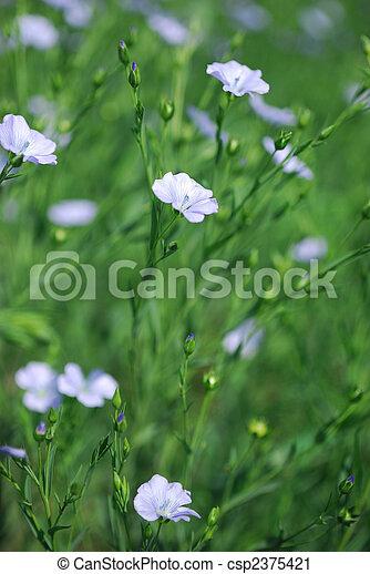 Flax Crop Blooming - csp2375421