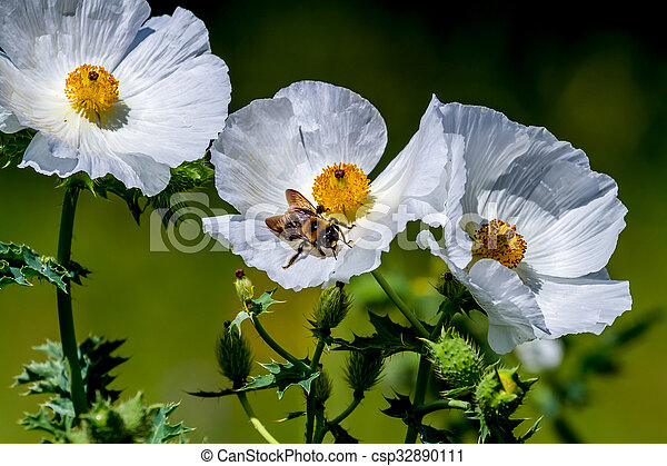 fleur, abeille, wildflower, closeup, pavot, blanc, texas, épineux - csp32890111