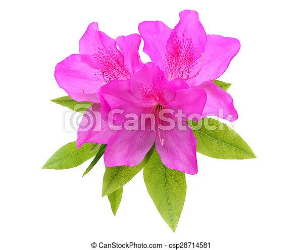 fleur, azalée - csp28714581