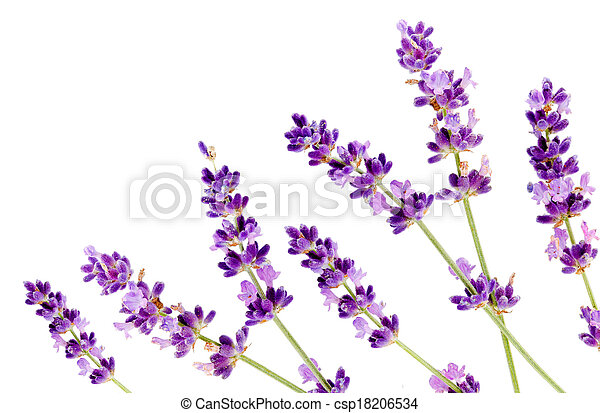 fleur blanche, lavande, fond , csp18206534
