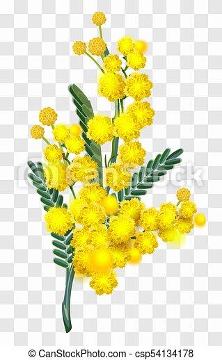 fleur, branche, isolé, jaune, mimosa, fond, transparent