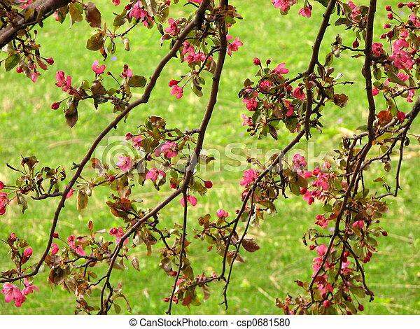 fleur, cerise, branches - csp0681580