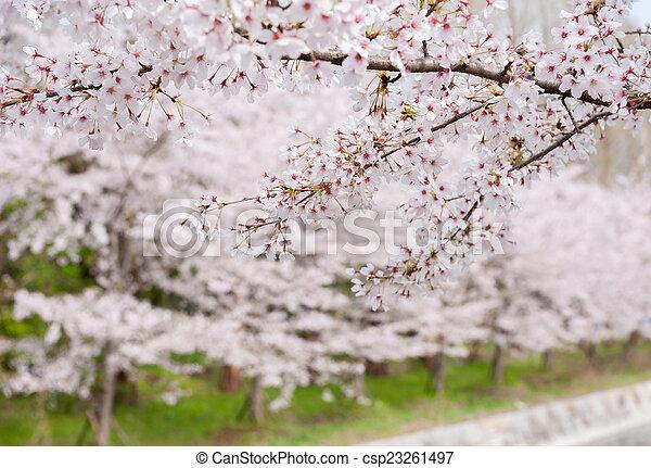 fleur, cerise - csp23261497
