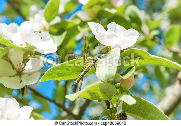 Fleur Coing Fleurs Blanches Arbre Fleur Feuilles Arbre Vert