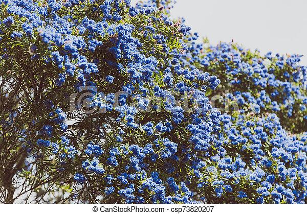 """fleur, coup, entiers, arbre, bleu, """"ceanothus"""", pacifique, fleurs - csp73820207"""