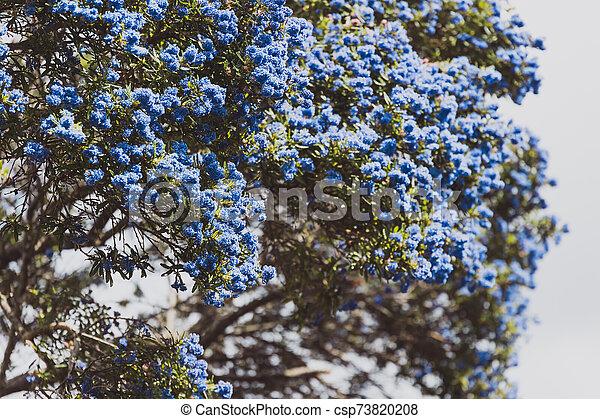 """fleur, coup, entiers, arbre, bleu, """"ceanothus"""", pacifique, fleurs - csp73820208"""