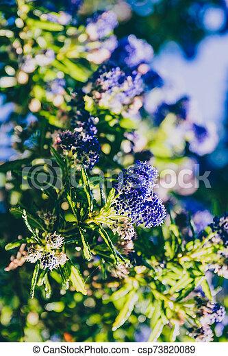 """fleur, coup, entiers, arbre, bleu, """"ceanothus"""", pacifique, fleurs - csp73820089"""