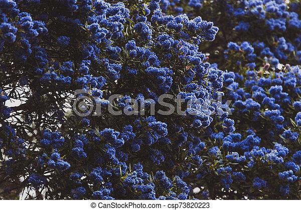 """fleur, coup, entiers, arbre, bleu, """"ceanothus"""", pacifique, fleurs - csp73820223"""