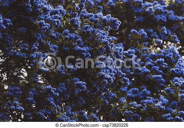 """fleur, coup, entiers, arbre, bleu, """"ceanothus"""", pacifique, fleurs - csp73820226"""