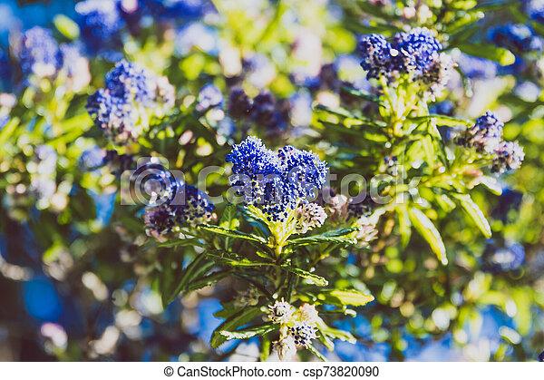 """fleur, coup, entiers, arbre, bleu, """"ceanothus"""", pacifique, fleurs - csp73820090"""