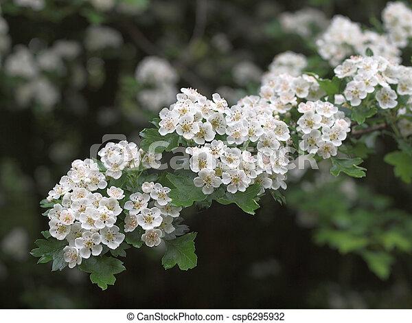 fleur, hawthorne - csp6295932