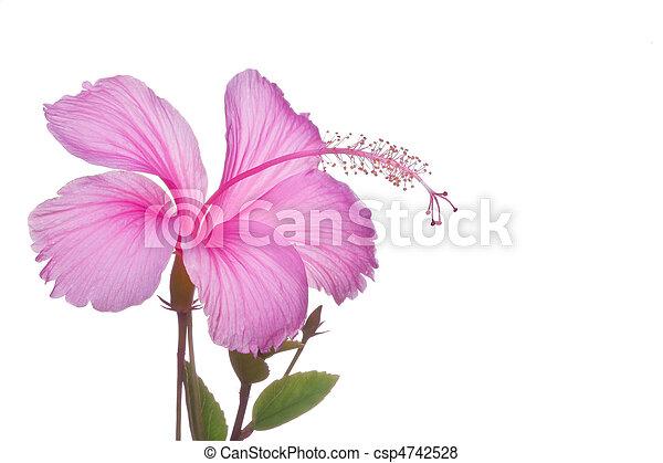 fleur, hibiscus - csp4742528