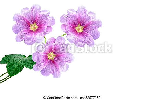 fleur, isolé, arrière-plan., clair, mauve, blanc
