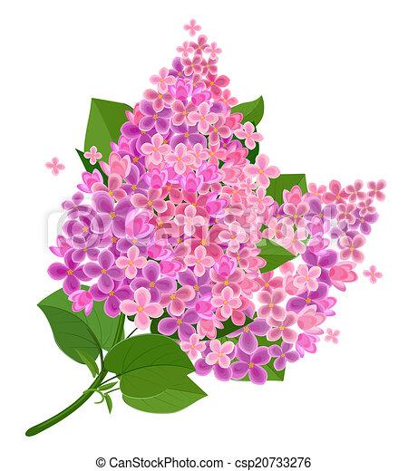 Fleur isol lilas - Dessin de lilas ...