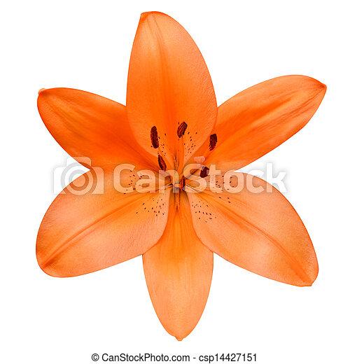 fleur, lis, isolé, fond, orange, blanc, ouvert - csp14427151