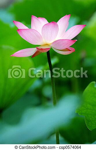 fleur, lotus, unique, coussins, entre, avidité - csp0574064