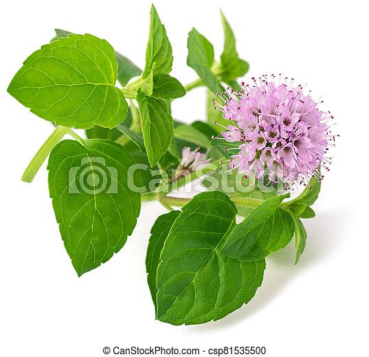 Fleur Menthe Menthe Fond Fleur Blanche Isole Frais Canstock