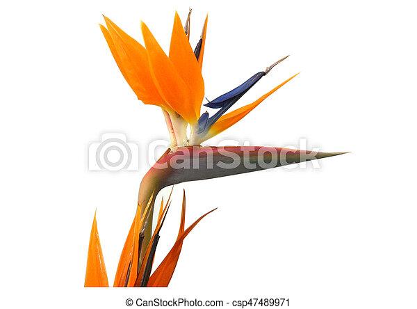 Fleur Oiseau Paradis