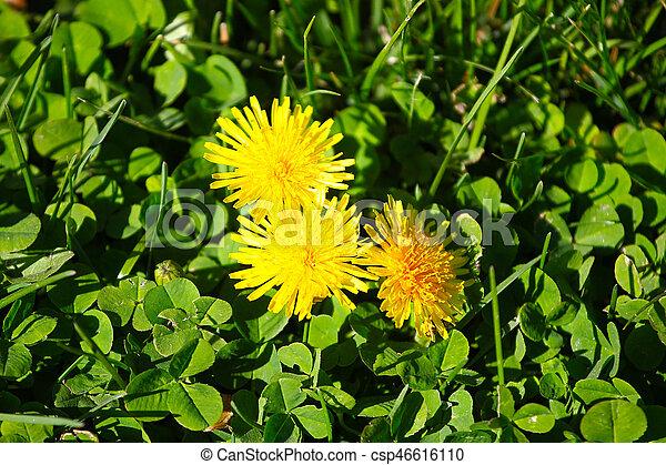 fleur, pissenlit - csp46616110